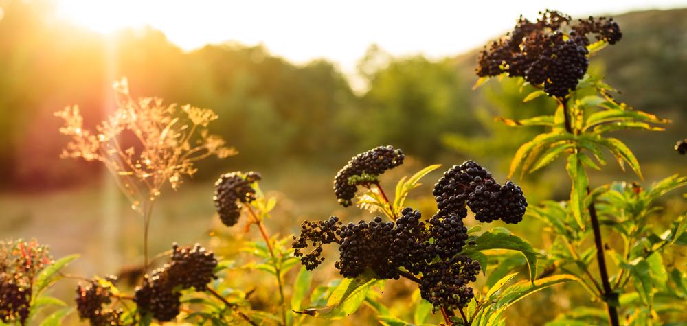 Elderberry Recipes | Elderberry Recipe Ideas | Elderberry Recipe Tips and Tricks | Best Elderberry Recipes | Best Elderberry Recipe Tips and Tricks